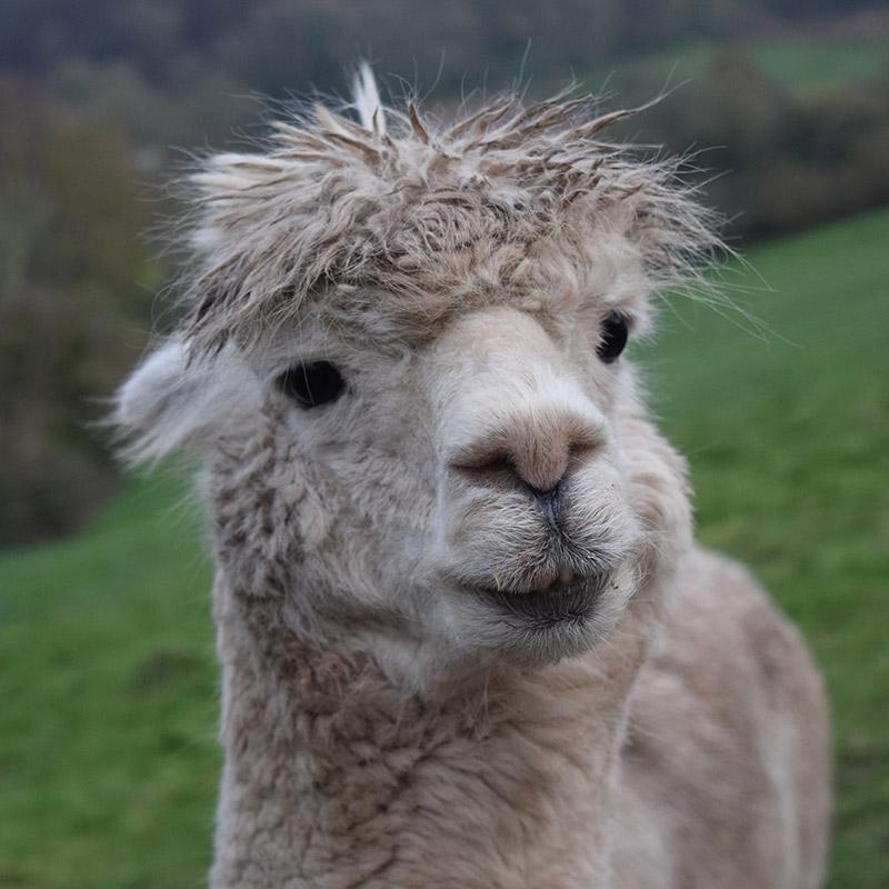 Pablo the Alpaca