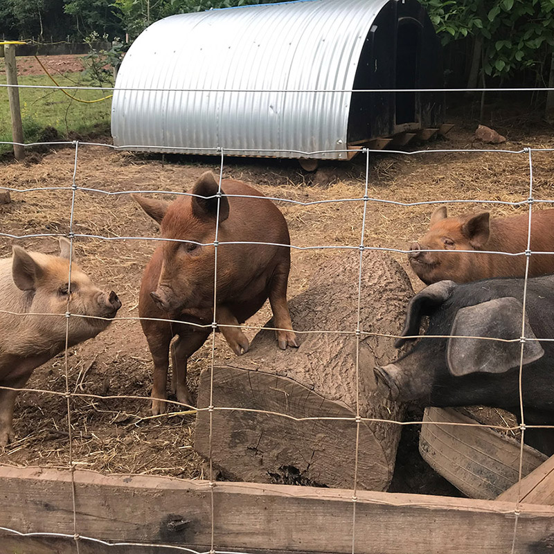 Pigs Plotting