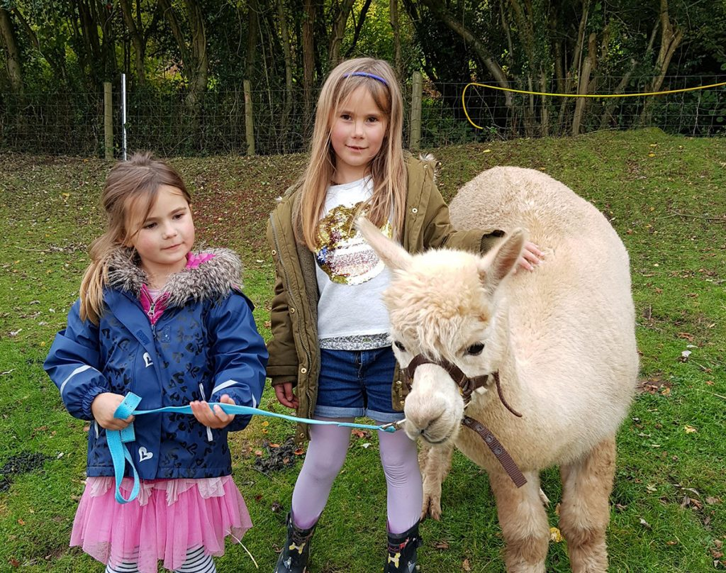 Wye Valley Alpacas Erma on a Halter