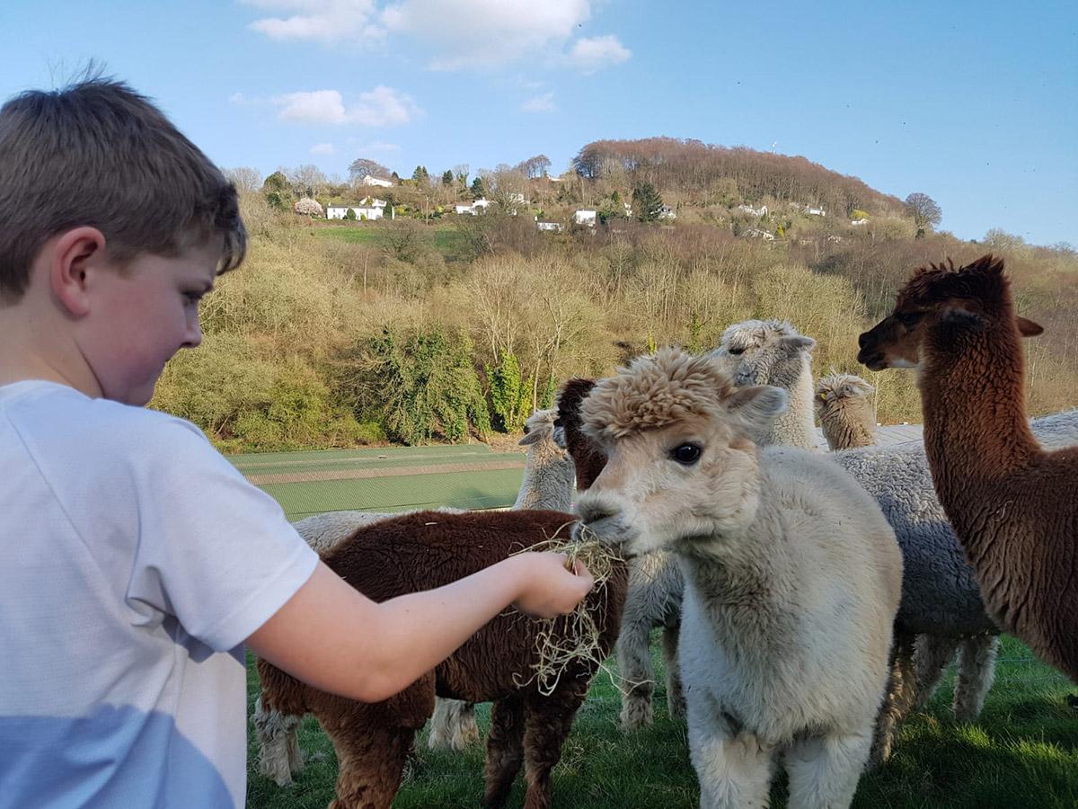 Wye Valley Alpacas Feeding by Hand