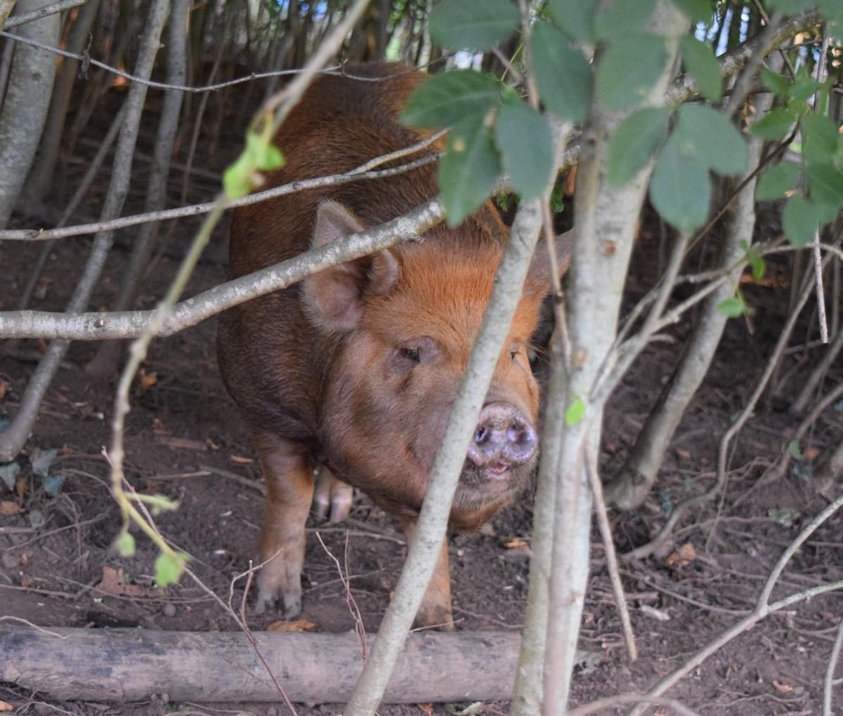 Pig Hiding
