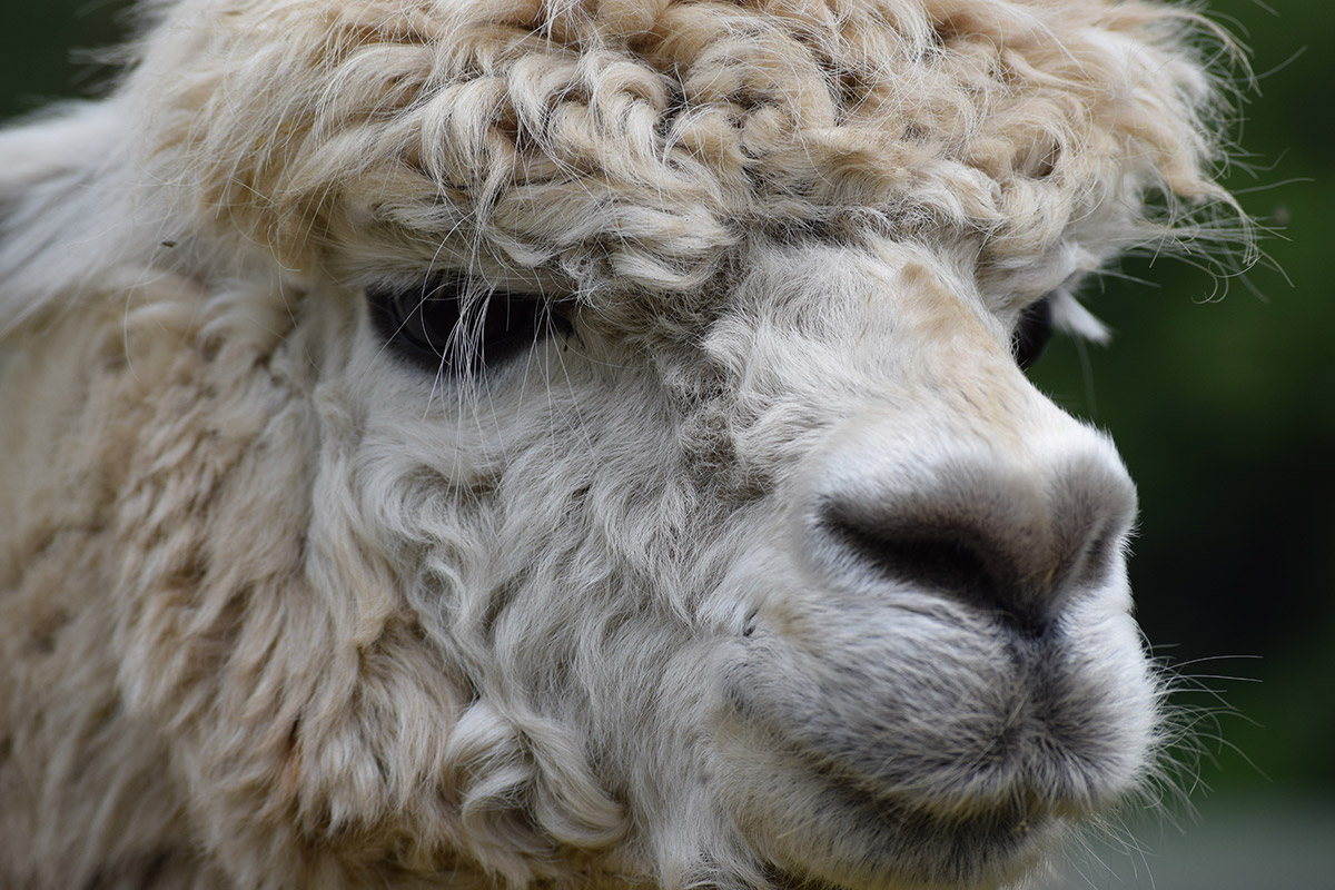 Wye Valley Alpacas Smiling