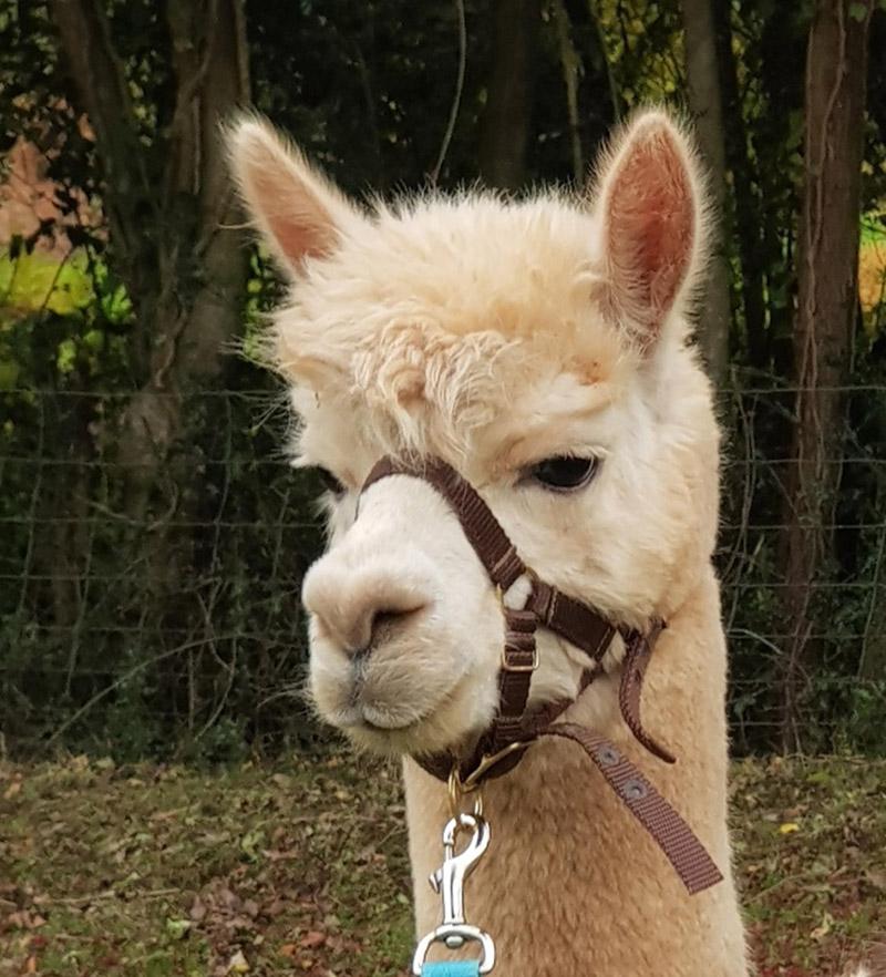 erma the alpaca for sale