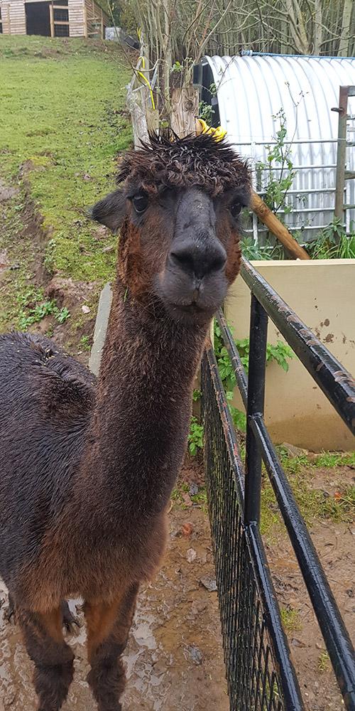 Wye Valley Alpacas Rugs Coco